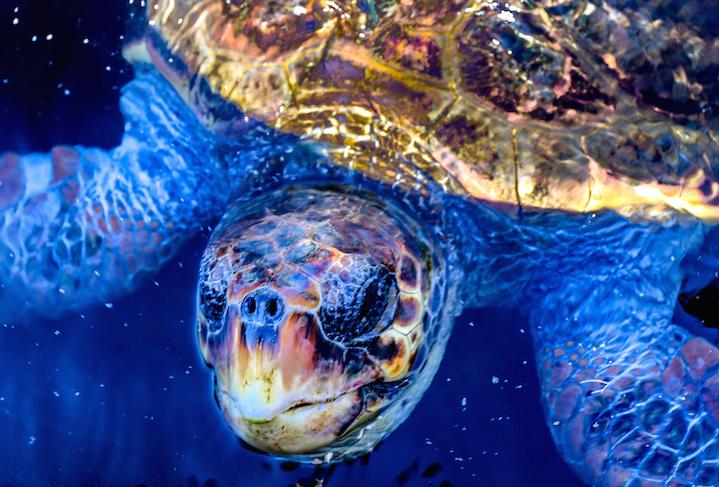 Voluntários de Archelon, salvando tartarugas marinhas.